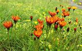 Orange wildflowers field — Zdjęcie stockowe