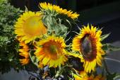 Sunflowers Aglow — Stock Photo