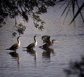 Cormorants frolic near Myrtle Beach, SC — Stock fotografie