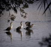 Cormorants frolic near Myrtle Beach, SC — Stock Photo