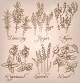 Set of essential herbs — Stockvektor