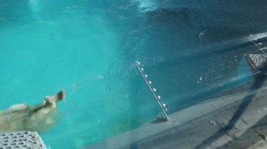 Polar bear swimming in the water — Stock Video