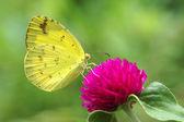 Butterfly — ストック写真
