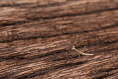 Juvenile Praying Mantis on wood texture — Stockfoto