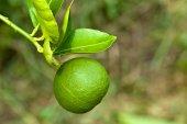 Lima verde en árbol — Foto de Stock