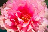 Chiuda in su rosa fiore di portulaca comune — Foto Stock