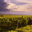Vineyard — Stock Photo #56141775