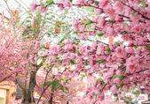 Beautiful pink Sakura flower blooming — Stock Photo