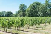 Vineyard for Bordeaux's red wine — Stock Photo