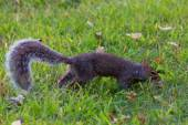 Squirrel on grass in the park — Zdjęcie stockowe