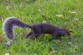 Squirrel on grass in the park — Foto Stock