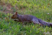 Squirrel on grass in the park — Stock Photo