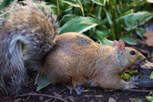Squirrel gnawing something in the forest — Stock Photo