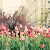 Park Avenue Tulips — Stock Photo