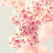 Cherry blossom, vintage style photo — Stock Photo