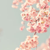 Cherry blossom, vintage style photo — Stock Photo