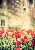 Tulips on street of New York City — 图库照片