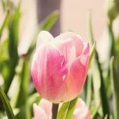 Pink tulip — Stock Photo