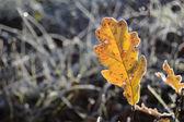 Yellow oak leaf in winter — Foto de Stock