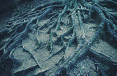 Strong roots of old trees. — Stock Photo