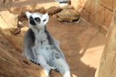 Amazing ring-tailed lemur — Stock Photo