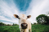 Young cow looking directly at the camera — Stock Photo