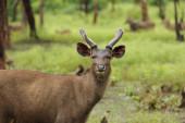 Sambar deer — Φωτογραφία Αρχείου