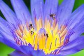 Mało pszczół na Lotos z pyłkiem — Zdjęcie stockowe
