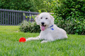 Labradoodle With Red Toy Ball — Stock Photo