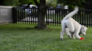 Dog Fetches ball and walks into focus — Stock Video