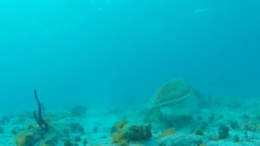 Green Sea Turtle Swims Away from Camera — Stock Video