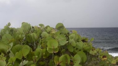 Sea Grapes with Caribbean in Background — Stock Video