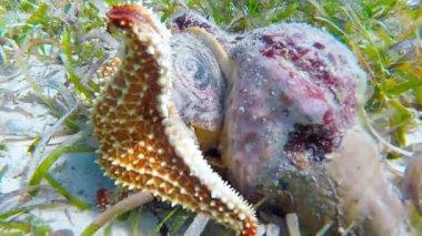 Starfish eats Conch — Stock Video