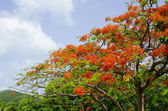 Flamboyant Tree — Stock Photo