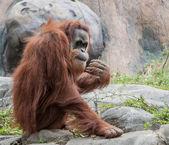 Orangutan Peeking at Crowd — ストック写真