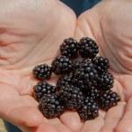 Roadside Blackberry Picking — Stock Photo #54224801