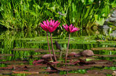 Pink Lilypad Flowers — Stock Photo