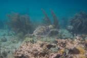 želva hawksbill plavání kolem útesu — Stock fotografie