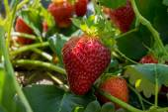 Strawberry Growing on Plant — Stok fotoğraf