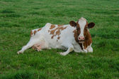 Red Holstein in Grass — Stock Photo