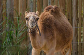 Dromedary Camel — Stock Photo