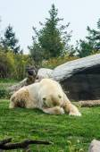 Polar Bear Embarrassed — Stockfoto
