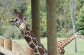 Giraffe Peeks Around Post — Stockfoto