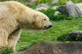 Polar Bear Front Half — Stock Photo