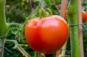 Roma Tomato on the Vine — Stock Photo