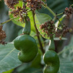 Cashew Nuts Growing — Stock Photo #69441717