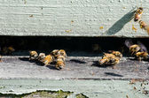Close up of Bees Entering Their Hive — Stock Photo