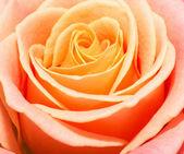 Close up macro of a peach rose — Stock Photo