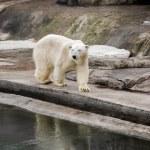 White bear — Stock Photo #71218453