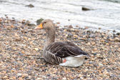 Greylag — Stock Photo